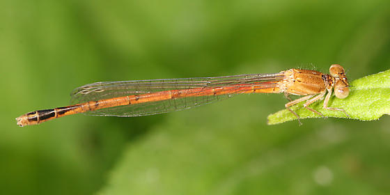 Eastern Red Damsel - Amphiagrion saucium - male