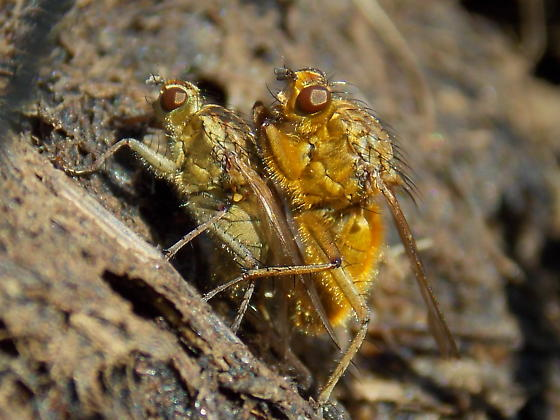 Golden Dung Fly - Scathophaga stercoraria - male - female