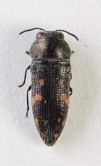 Small Buprestid - Acmaeodera tubulus