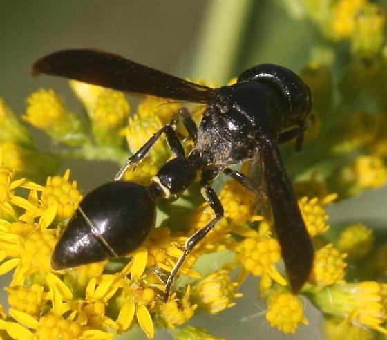 Zethus spinipes