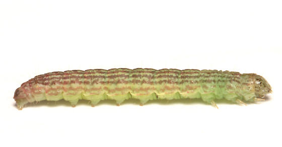 Pyralidae, Striped Sumac Leafroller, lateral - Sciota subfuscella
