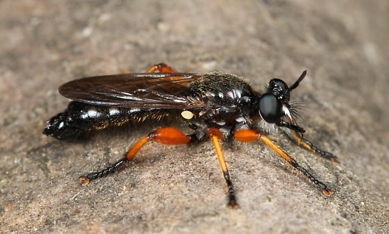 Asilid - Laphria sadales - male