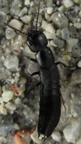 beetle - Ocypus nitens