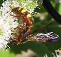 Wasp II - Scolia nobilitata - female