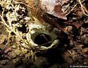 Mygalomorph spider - Ummidia