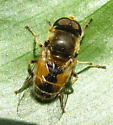 Syrphid fly - Eristalis arbustorum - male