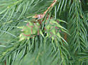 Spruce Gall Adelgid - Adelges abietis