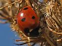 Lady Beetle 704A 6189 - Coccinella septempunctata