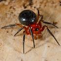 Red/Black Spider - Hypsosinga pygmaea