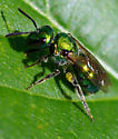 Green Fly or Bee? - Augochlora pura - female