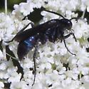 very blue spider wasp?? - Evagetes
