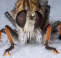 Unknown Robber Fly - Efferia albibarbis