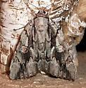 Catocala - 8782 - Catocala flebilis