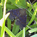 Noctuoid Moth - Hodges #8763 - Argyrostrotis deleta