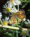 is it a checkerspot ? - Phyciodes tharos