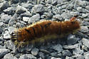 Brown and yellow caterpillar - Acronicta dactylina