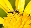 mosquito - Aedes aegypti - male