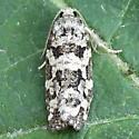 An Archips sp. - Archips packardiana