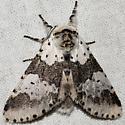 moth - Furcula borealis