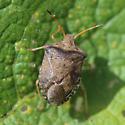 Stink Bug (Pentatomidae) - Euschistus conspersus