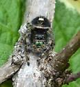 Jumping spider? - Phidippus audax