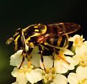 Flower Fly - bee mimic - Copestylum vittatum