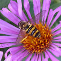American hoverfly (Eupeodes americanus)? - Eupeodes americanus