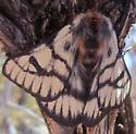 Unknown Moth_01 - Hemileuca griffini