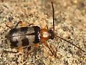 leaf beetle - Paranapiacaba tricincta