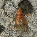 Orange mirid 1 - Tropidosteptes pacificus