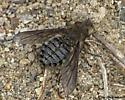 Fly - Conophorus