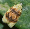 moth - Acleris semipurpurana