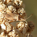 tan plant bug - Harmostes