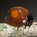 Twice-stabbed Lady Beetle - Chilocorus kuwanae