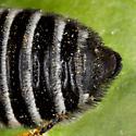 Female Leafcutter Bee - Megachile addenda - female