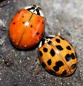 Multicolored Lady Beetles - Harmonia axyridis