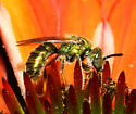 unidentified Halictidae 1 - Augochlorella
