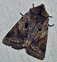 Confirmation - Cerastis salicarum