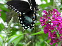 black and blue swallowtail - Papilio troilus - male