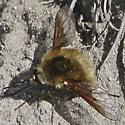 Bombylius major maybe - Bombylius aurifer