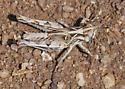 Slant-faced hopper nymph - Psoloessa texana - male