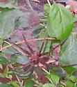 Fishing spider with spiderlings - Dolomedes vittatus - female