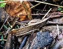 Grasshopper sp. - Metaleptea brevicornis - female