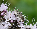 Old World Bee ID Request - Coelioxys coturnix - male