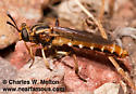 Mydas Fly - Nemomydas brachyrhynchus - male