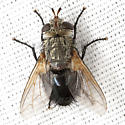 Cool Fly - Archytas - male