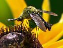 Sesiidae sp? - Lepidophora lutea
