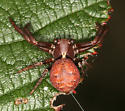 crab spider - Xysticus - male