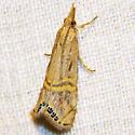 Grass Veneer Moth - Hodges #5454 - Euchromius ocelleus
