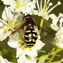 Dasysyrphus  - Dasysyrphus - female